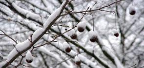 Äste mit Schnee bedeckt