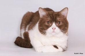 Британский кот редчайшего окраса цинамон-биколор!