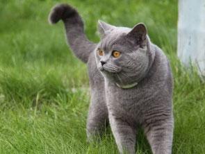 роскошный голубой британский кот