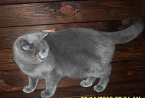 Британская голубая кошечка Лиза!)))