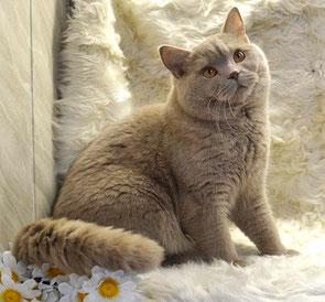 Британский кот фавн вязка