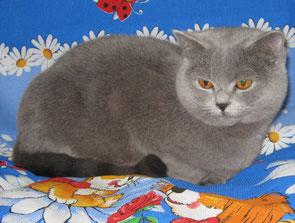 Продажа голубых британских котят