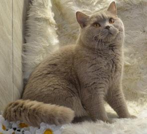 Британский кот .Your Leonardo BRI p (фавн)