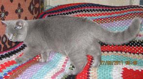 Голубая британская кошка Далида