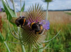 Wildbienen Bienenretter