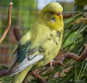 Auf der linken Seite unter ihrem Flügel auf dem Rücken hat sie dieses Lipom. Den Flügel kann sie nicht mehr normal anlegen.