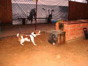 испытания норных собак