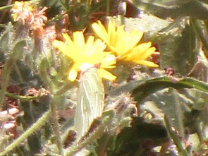 Spot the brimstone butterfly!