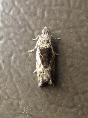 Micromoth Epinotia species