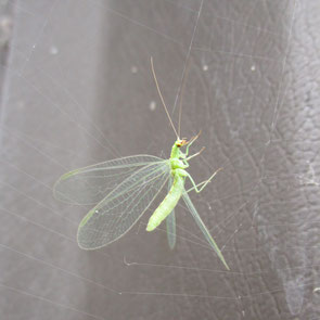 Common Green Lacewing Chrysoperla carnea