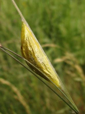 Burnet moth pupa