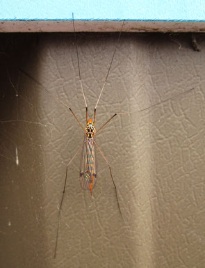 Spotted crane fly, probably Nephrotoma quadriferia