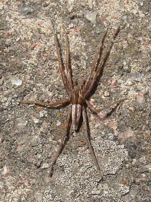 Grass spider Tibellus oblongus