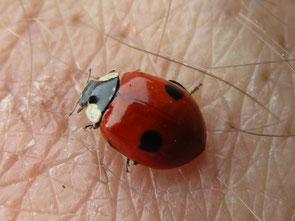 2-spot Ladybird Adalia bipunctata