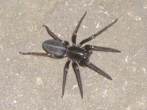 Spider Segestria florentina