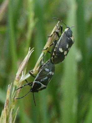 Brassica bug Eurydema oleracea