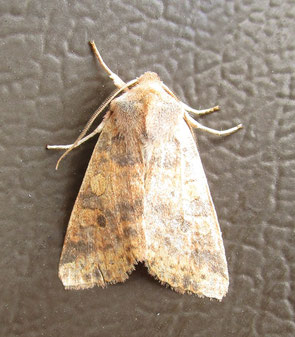 Miscellaneous noctuid moth