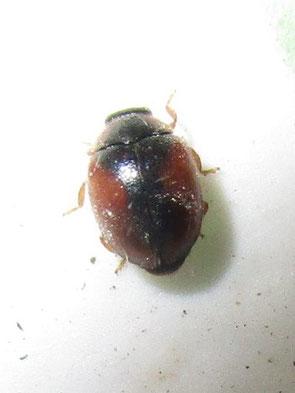 Dwarf ladybird, possibly Nephus redtenbacheri