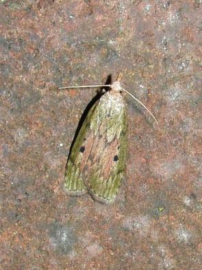 Bee moth Aphemia sociella