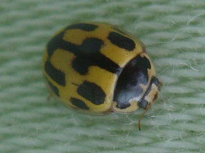 14-spot ladybird Propylea 14-punctata (or quatuordecimpunctata if we're doing it properly)