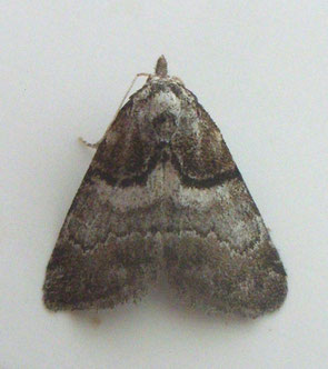 Short-cloaked moth Nola cucullatella