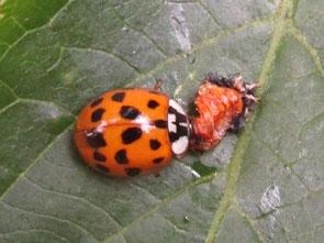 Harlequin ladybird Harmonia axyridis