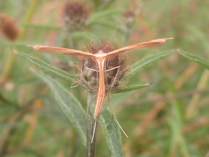 Plume moth - more specific than that, I will not dare.