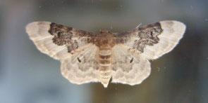 Least carpet moth Idaea rusticata