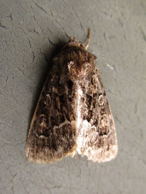 Not really sure; possibly the rustic moth ...