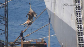 Oft werden die ausgelaugten Tiere an einem Kran hängend verladen. / © PETA Deutschland e.V./Karremann