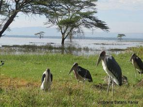Marabus auf einer Safari in Kenia am Lake Nakuru