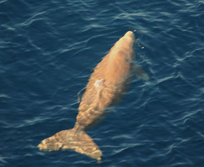 Dugong  at coast ouest of nago city