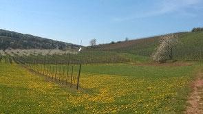 Weinberge im Frühling - alles blüht