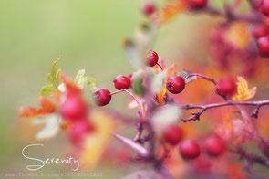 Rote Weißdornbeeren, rot-braunes Herbstlaub, ins Bild hineinragende Zweige, heller lindgrüner Hintergrund mit weichem Bokeh