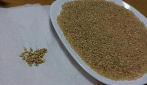 玄米の選別で、もみ殻や質の悪い粒を除去します