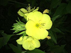 Nachtkerze Sommerstern heilende Eigenschaften Seelen Zauber Tuggen
