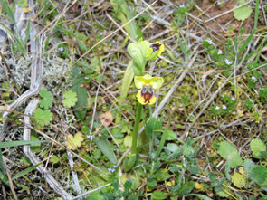 1 - Ophrys lutea subsp. sicula  - Foto Teo Dura