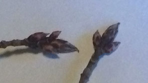 sugar maple buds