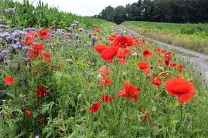 Blumenwiese neben Maisfeld