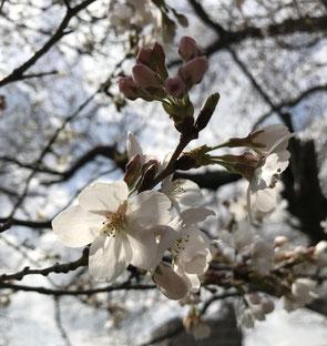 三部咲の桜
