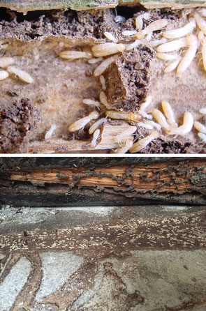 ©Sentri Tech, les termites causent de colossales dégradations.