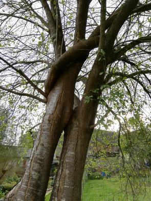 Charmes communs (Carpinus betulus) de Barcus (66)