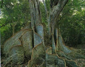 すごい板根です。台風の多い土地柄、湿地に根を張るためにこのような姿になったのでしょう。本当に自然の神秘を感じます。