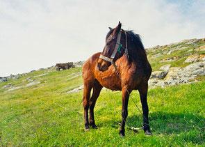 das anpflockte Pferd des Burg-Wächters