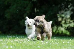 deux petits chiens un blanc et un gris courent sur l'herbe par coach canin 16 educateur canin 16 en charente