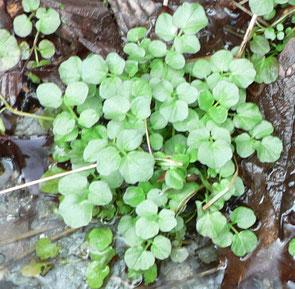 11 Wildkräuter - Genuss in grün