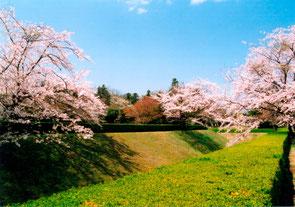 城址公園内の桜