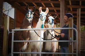 Lama Mama, Lamawanderung, Lama wandern, Wandern mit Lamas, Lamahof, Sommerein, Niederösterreich