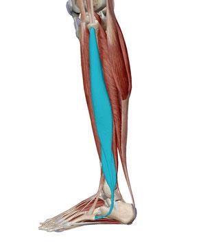 「長腓骨筋」の画像検索結果