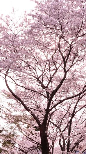 色鮮やかな桜の写真フリー素材 Colorful cherry blossom photo free material